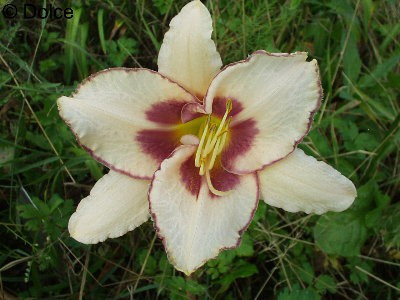 Daylily Chicago Picotee Memories