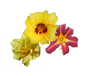 Collection of 3 daylily sorts