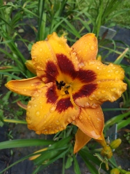 Daylily Racing Tiger