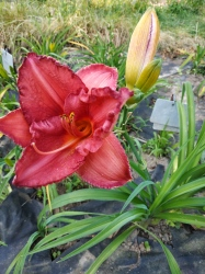 Daylily Hermitage Max Plank (en)