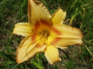 Daylily Tiger Eye Hager (en)
