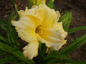 Daylily Cream Pink Pearl