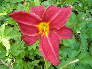 Daylily Cross My Heart