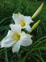 Daylily Dad´s Best White