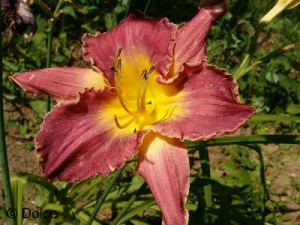 Daylily Chicago Sugarplum