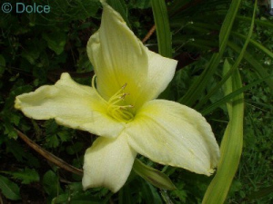 Daylily Ice Cream