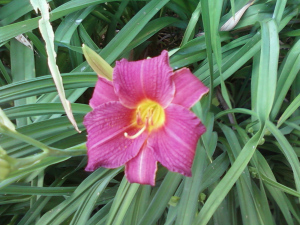 Daylily Little Wine Cup
