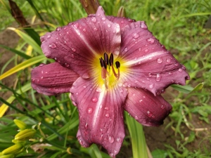 Daylily  Valley Haze