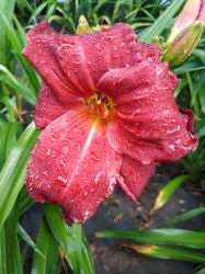 Daylily Wally Nance