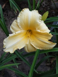 Daylily Zippity Do Da