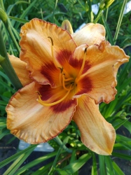 Daylily All Fired Up