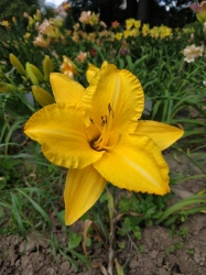 Daylily By Myself