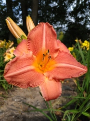 Daylily Continental Experience
