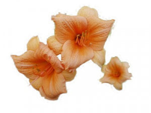 Daylily Countess Carrots