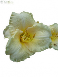 Daylily Crystal Cameo