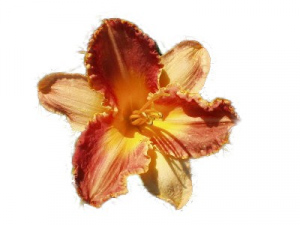 Daylily Chicago Antique Tapestry