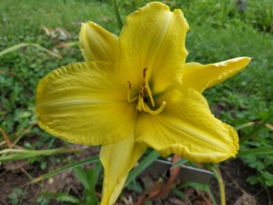Daylily Irish Ice