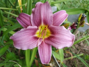 Daylily Little Wart